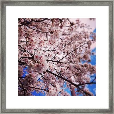 Cherry Blossoms In Full Bloom Framed Print