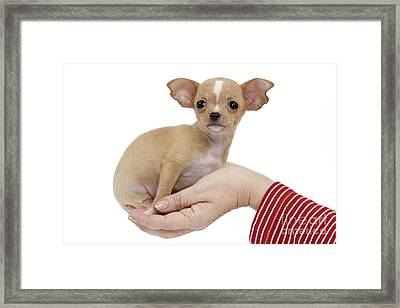Chihuahua Puppy Dog Framed Print