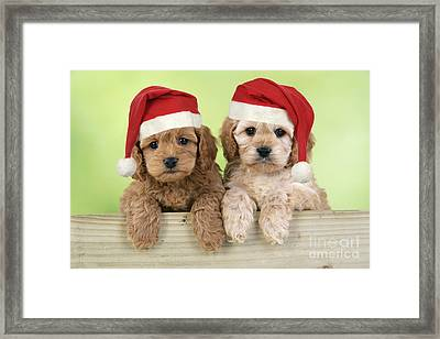 Cockapoo Puppy Dogs Framed Print