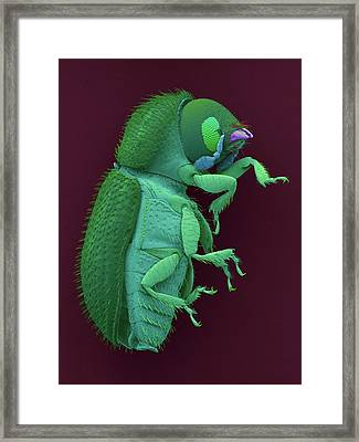 Coffee Berry Borer Framed Print by Dennis Kunkel Microscopy/science Photo Library