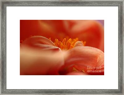 Dahlia Framed Print by Rebeka Dove