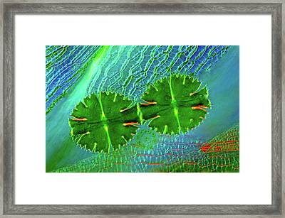 Desmids And Sphagnum Moss Framed Print