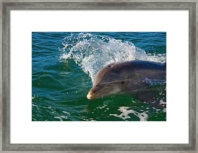 Dolphin In The Ocean, Roatan Island Framed Print