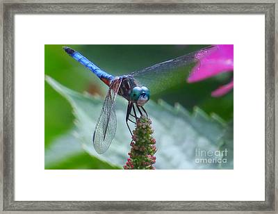 Dragonfly Blue Dasher Framed Print