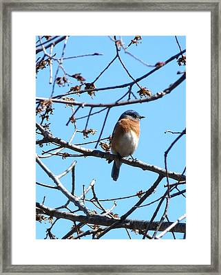 Eastern Bluebird Framed Print by Rebecca Overton