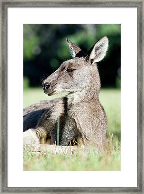 Eastern Grey Kangaroo (macropus Framed Print