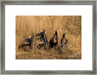 Eastern Wild Turkeys Framed Print by Linda Freshwaters Arndt