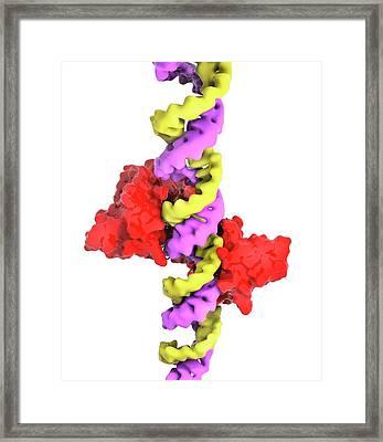 Ebola Viral Protein 35 And Rna Framed Print
