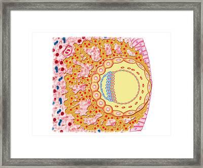 Embryo Formation Framed Print
