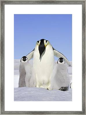 Emperor Penguin And Chicks Framed Print