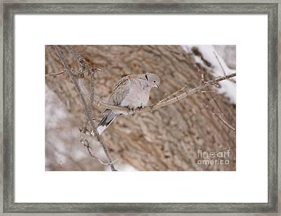 Euarsian Collard Dove Framed Print by Lori Tordsen