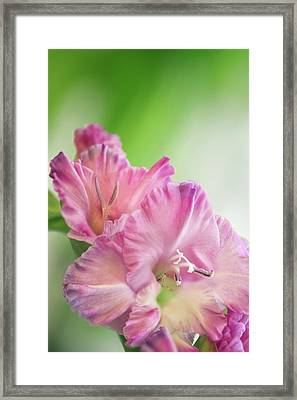 Gladiolus Flowers Framed Print by Maria Mosolova/science Photo Library