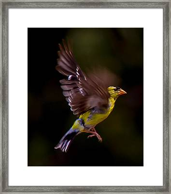 Gold Finch Framed Print