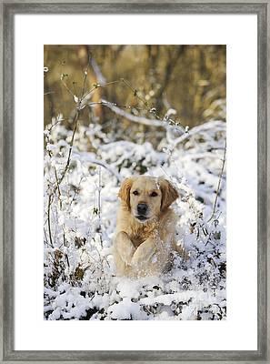 Golden Retriever In Snow Framed Print