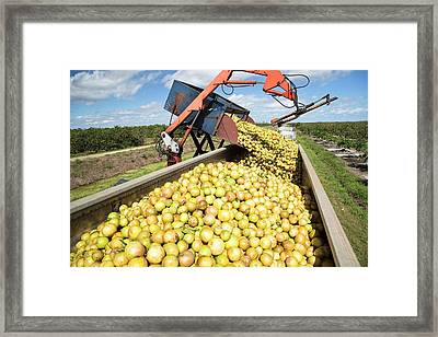 Grapefruit Farming Framed Print