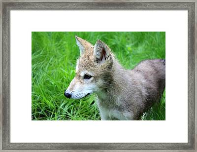 Gray Wolf Pup Framed Print