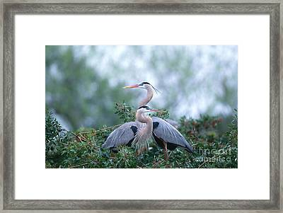 Great Blue Heron Framed Print by Art Wolfe