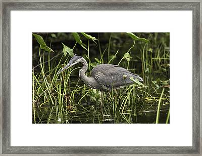 Great Blue Heron Fishing Framed Print