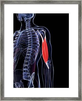 Human Biceps Framed Print