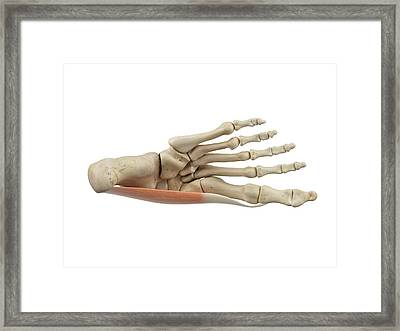 Human Foot Muscles Framed Print by Sciepro
