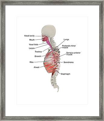 Human Respiratory System Framed Print