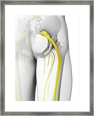 Human Sciatic Nerve Framed Print by Sebastian Kaulitzki