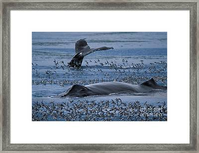 Humpback Whale Framed Print by Ron Sanford