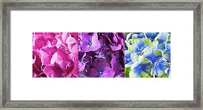 Hydrangea Flower And Soil Acidity Framed Print by Science Photo Library