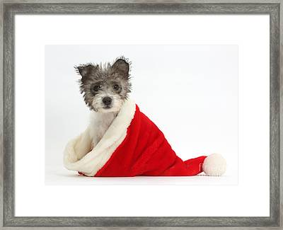 Jack Russell X Westie Pup Wearing Framed Print by Mark Taylor