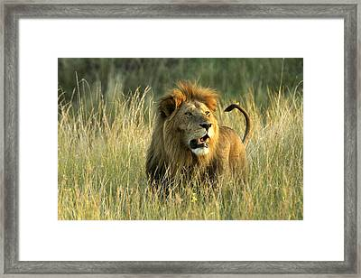 King Of The Savanna Framed Print