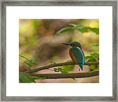 Kingfisher Framed Print by Paul Scoullar