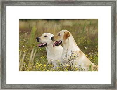 Labrador Retriever Dogs Framed Print