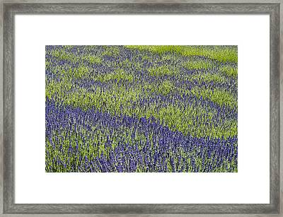 Lavendar Field Rows Of White And Purple Flowers Framed Print