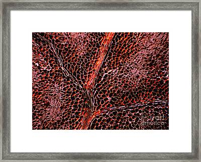 Light Micrograph Of Leaf Anatomy Framed Print