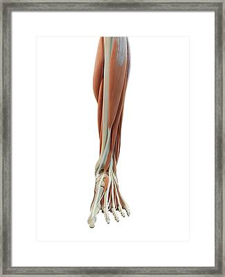 Leg And Foot Muscles Framed Print by Sciepro