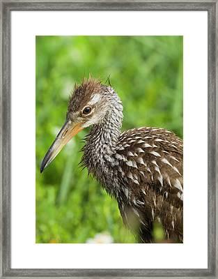 Limpkin Chick, Aramus Guarana, Viera Framed Print