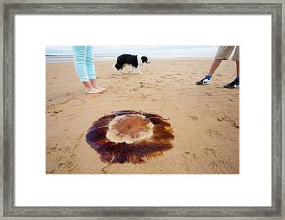 Lions Mane Jellyfish Framed Print by Ashley Cooper