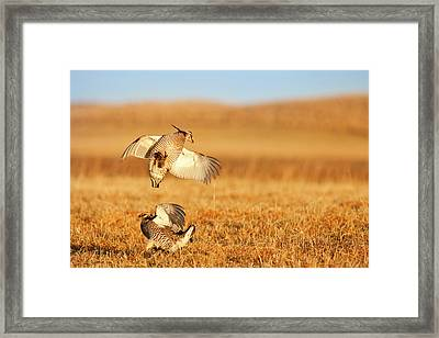 Male Prairie Chickens At Lek In Loup Framed Print