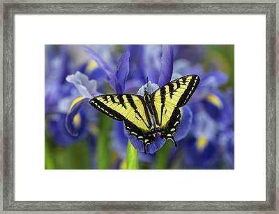 Male Western Tiger Swallowtail Framed Print