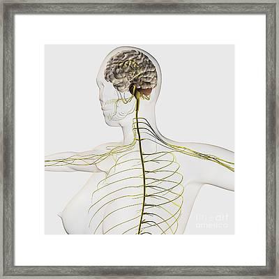 Medical Illustration Of The Human Framed Print