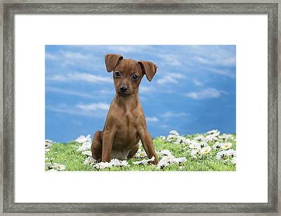 Miniature Pinscher Puppy Framed Print by Jean-Michel Labat