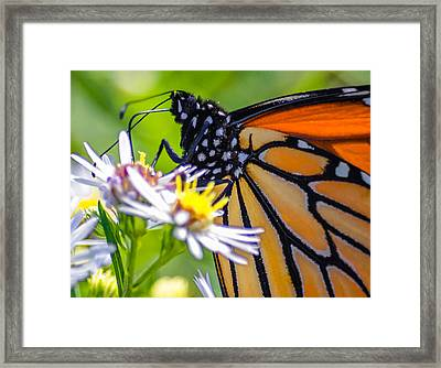 Monarch Butterfly Framed Print by Brian Stevens