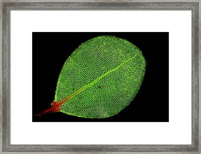 Moss Leaf Framed Print by John Durham