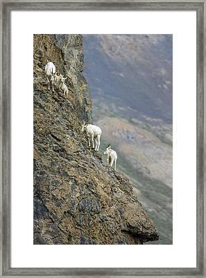 Mountain Goats Along Kongakut River Framed Print