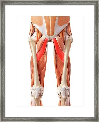 Muscular System Of Legs Framed Print by Sebastian Kaulitzki/science Photo Library