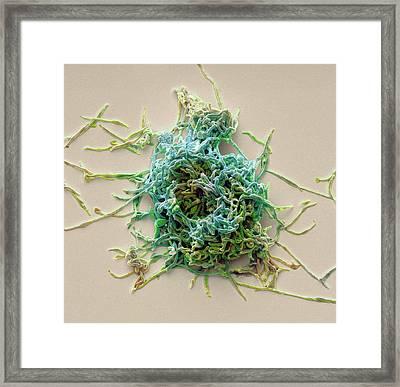 Mycoplasma Pneumoniae Framed Print