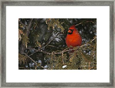 Northern Cardinal Framed Print by Michael Cummings