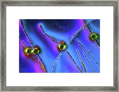 Oedogonium Green Algae Framed Print