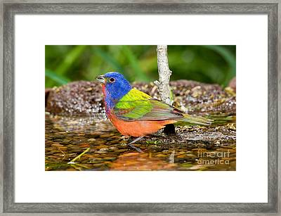 Painted Bunting Framed Print by Anthony Mercieca