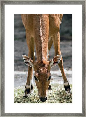 Persian Gazelle Framed Print